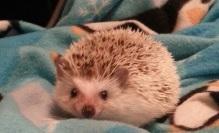 Pet Corner – Hedgehog